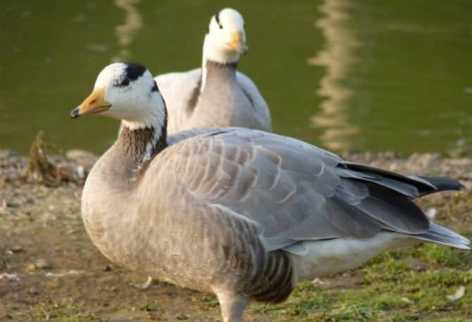 Geese for Sale Sussex
