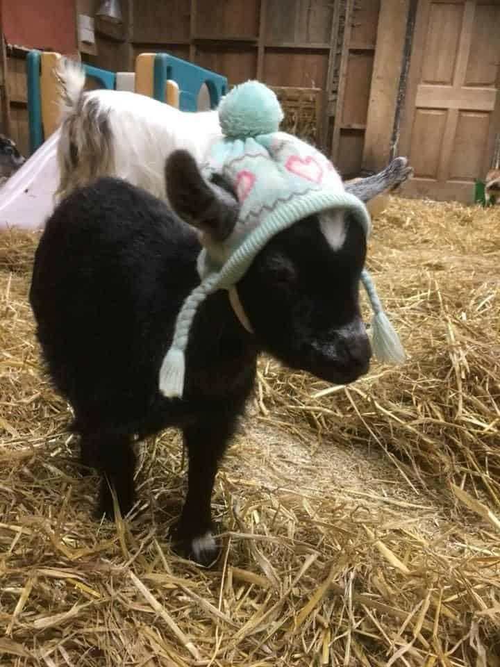 Wishing Wells Farm Pigmy Goats for Sale