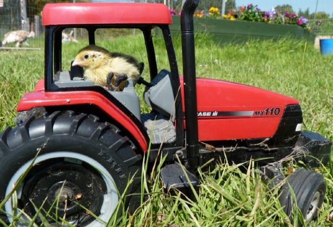 Wishing Wells Farm Quail in Tractor