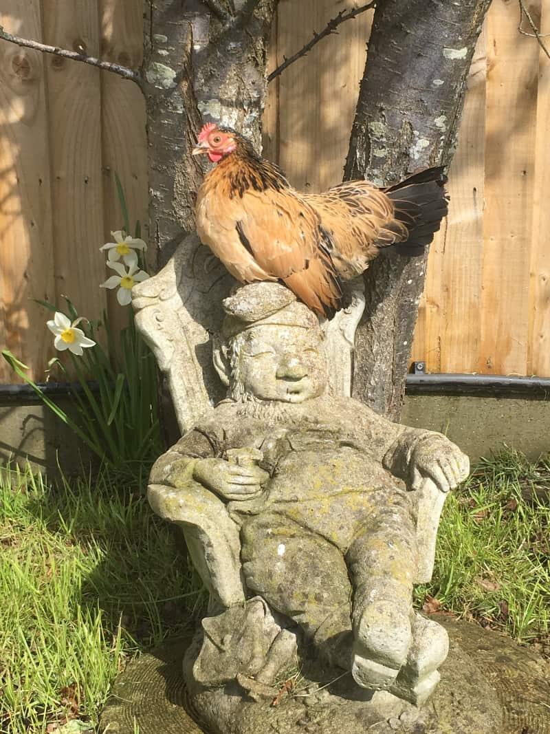 Seramas Bantams Chickens for sale